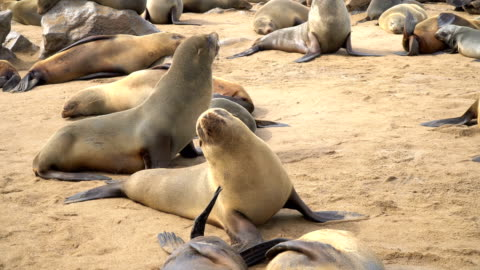 cape fur seals in large colony, mothers and young, cape cross namibia - cape fur seal stock videos & royalty-free footage