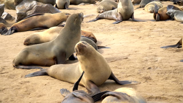 Cape fur seals in large colony, mothers and young, Cape Cross Namibia