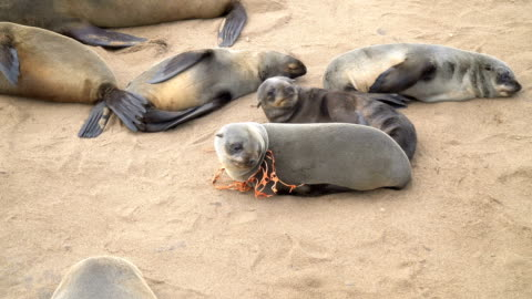 cape fur seals in large colony, one is tied with a plastic mesh, cape cross namibia - cape fur seal stock videos & royalty-free footage
