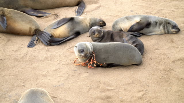 Cape fur seals in large colony, one is tied with a plastic mesh, Cape Cross Namibia