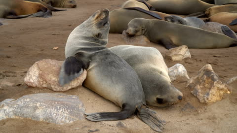 cape fur seals in large colony, resting on the sand, cape cross namibia - cape fur seal stock videos & royalty-free footage