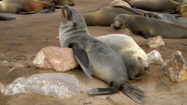 Cape fur seals in large colony, resting on the sand, Cape Cross Namibia