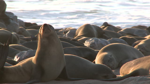 cape fur seals (arctocephalus pusillus)lying on beach, cape cross, namibia - namibia stock videos & royalty-free footage