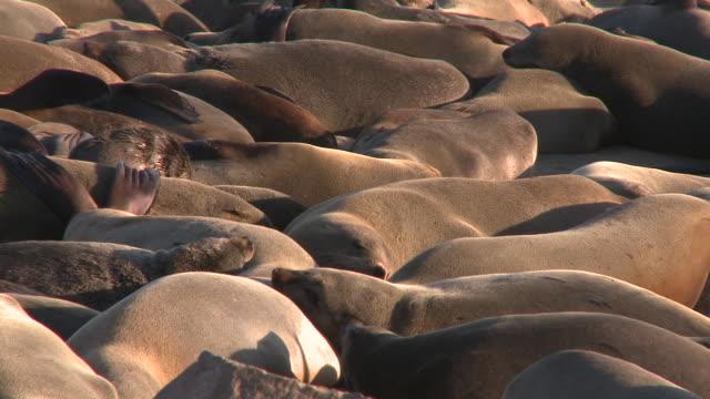 cape fur seals (arctocephalus pusillus) massed on beach, cape cross, namibia - cape fur seal stock videos & royalty-free footage