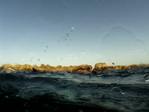 Cape fur seals (Arctocephalus pusillus) near surface. Cape Province, South Africa