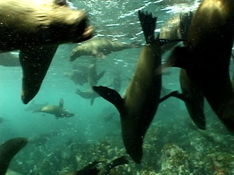 cape fur seals (arctocephalus pusillus) near surface. cape province, south africa - 数匹の動物点の映像素材/bロール