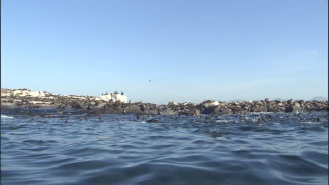 vídeos y material grabado en eventos de stock de cape fur seals (arctocephalus pusillus) porpoise near rocky islet, south africa - foca peluda del cabo
