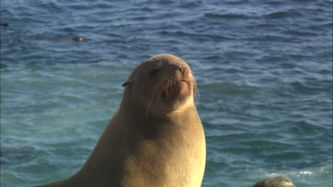 cape fur seals, seal island, adult head in sun, simonstown, south africa  - cape fur seal stock videos & royalty-free footage