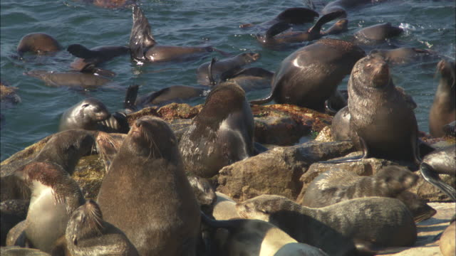 cape fur seals, seal island, basking on rocks, south africa - robbe stock-videos und b-roll-filmmaterial