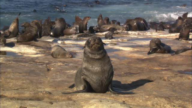 cape fur seals, seal island, pup looks around, simonstown, south africa  - seal pup stock videos and b-roll footage
