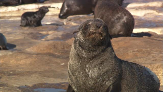 vídeos y material grabado en eventos de stock de cape fur seals, seal island, pup, simonstown, south africa  - foca peluda del cabo
