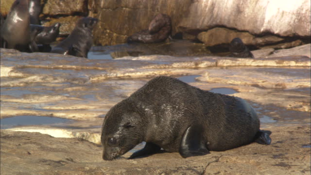 cape fur seals, seal island, pup, simonstown, south africa  - seal pup stock videos and b-roll footage