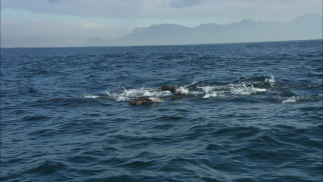cape fur seals, simonstown, south africa  - cape fur seal stock videos & royalty-free footage