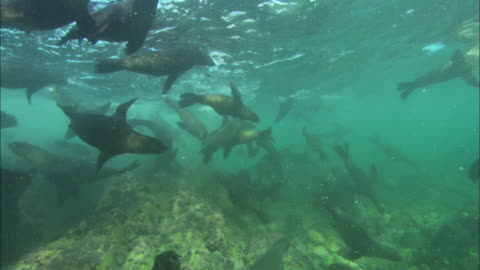 cape fur seals, south africa, gansbaai  - cape fur seal stock videos & royalty-free footage