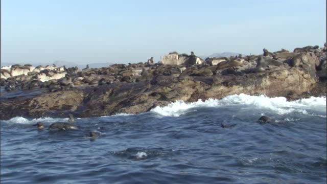 vídeos y material grabado en eventos de stock de cape fur seals (arctocephalus pusillus) swim near rocky islet, south africa - foca peluda del cabo