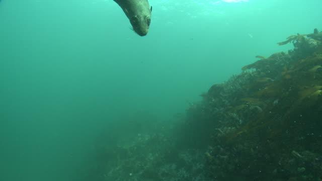 vídeos y material grabado en eventos de stock de cape fur seals swim over a reef and create bubbles. available in hd. - foca peluda