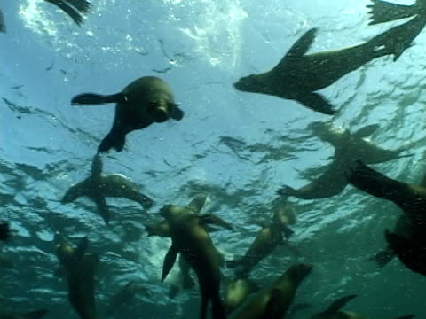 cape fur seals (arctocephalus pusillus) swim over camera. cape province, south africa - 数匹の動物点の映像素材/bロール