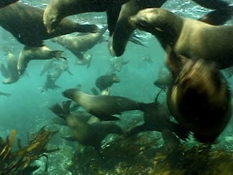 vídeos y material grabado en eventos de stock de cape fur seals (arctocephalus pusillus) swim over kelp and rocks. cape province, south africa - foca peluda