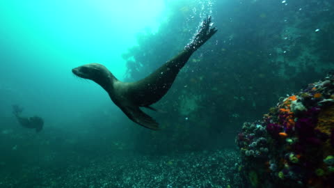 cape fur seals swimming in shallow water, false bay, cape town. - cape fur seal stock videos & royalty-free footage