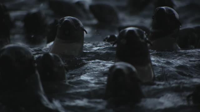vídeos y material grabado en eventos de stock de cape fur seals - foca peluda del cabo