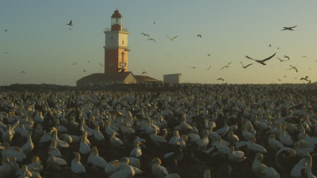 stockvideo's en b-roll-footage met ws cape gannet colony on bird island with lighthouse in background and full grown chicks in evening light - meer dan 50 seconden