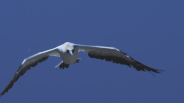 ms cape gannet flying directly to camera looking down to colony - gannet stock videos & royalty-free footage