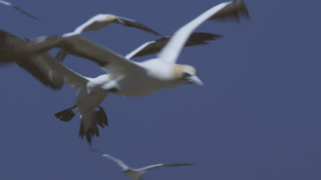 ms cape gannet landing vertically and clumsily into huge colony - gannet stock videos & royalty-free footage