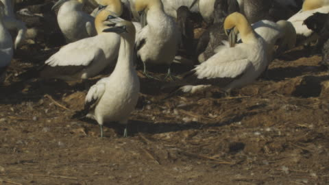 ms cape gannet wingflaps then pan as bird next to it runs and takes off - colony stock videos & royalty-free footage