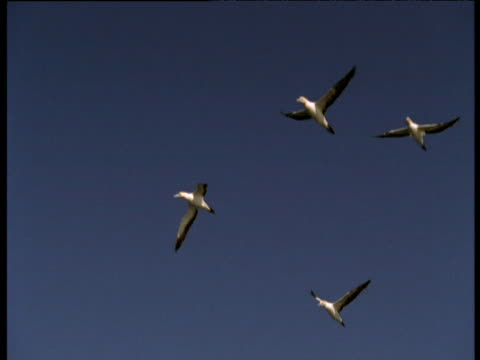 cape gannets fly overhead, durban - bbc stock videos and b-roll footage