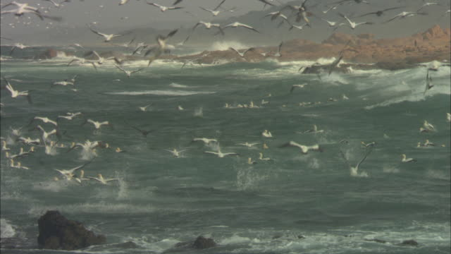 cape gannets, sardine run, flying and diving and sitting on water, south africa  - utfällda vingar bildbanksvideor och videomaterial från bakom kulisserna