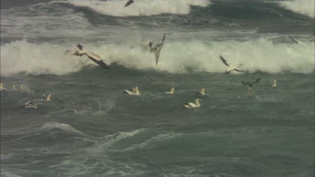 cape gannets, sardine run, flying and diving in waves, close up, south africa  - utfällda vingar bildbanksvideor och videomaterial från bakom kulisserna