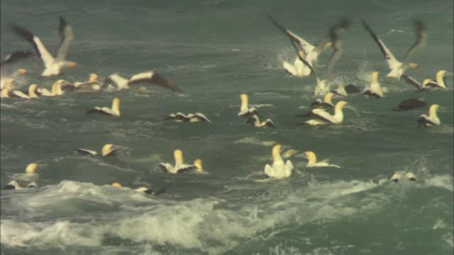 cape gannets, sardine run, rest, south africa  - utfällda vingar bildbanksvideor och videomaterial från bakom kulisserna