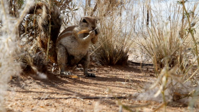 cu cape ground squirrel eating something - herbivorous stock videos and b-roll footage