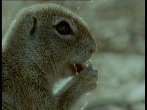 cape ground squirrel gnaws at seed - bbc stock videos and b-roll footage