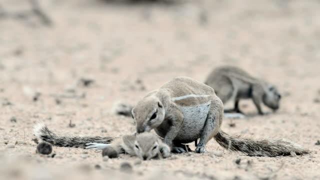 vídeos de stock e filmes b-roll de cape ground squirrel grooming - cor creme