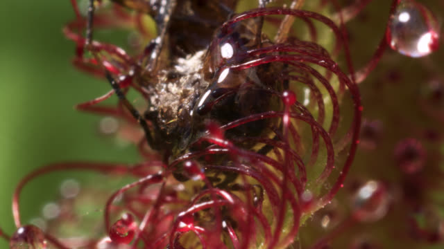 tl cape sundew digests mosquito prey, uk - tentacle stock videos & royalty-free footage