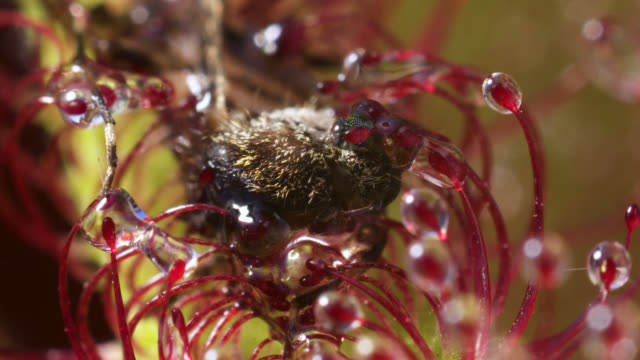 tl cape sundew digests mosquito prey, uk - carnivorous plant stock videos and b-roll footage