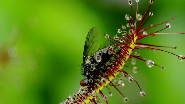 cape sundew engulfing a fly - insectivore stock videos & royalty-free footage
