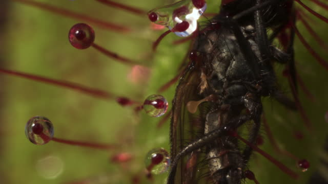 tl cape sundew kills and digests fly prey, uk - tentacle stock videos & royalty-free footage