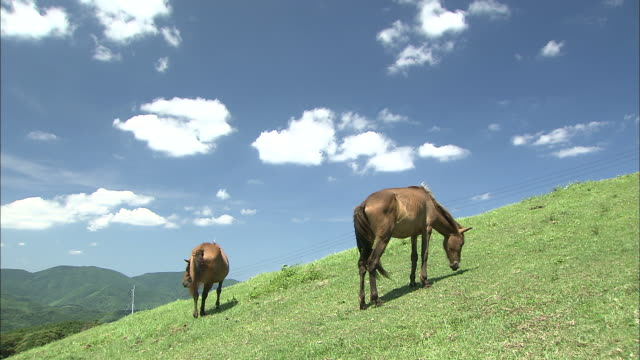 cape toi and cape ponies in kushima, miyazaki - herbivorous stock videos & royalty-free footage