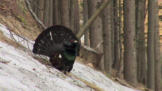 ms, ts, capercaillie (tetrao urogallus) in forest, slovenia - hd format stock videos & royalty-free footage