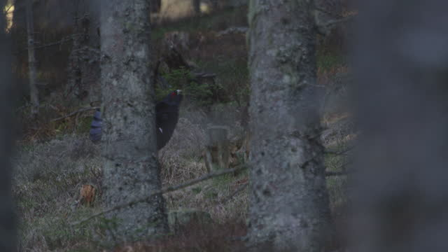 capercaillie (auerhahn / tetrao urogallus) in the forest during mating season (4k resolution) - named wilderness area stock videos & royalty-free footage