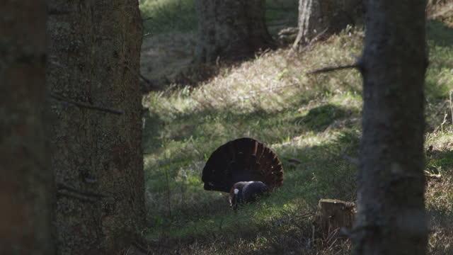 vídeos y material grabado en eventos de stock de urogallus de urogallo (auerhahn / tetrao) en el bosque durante la temporada de apareamiento (resolución 4k) - área silvestre