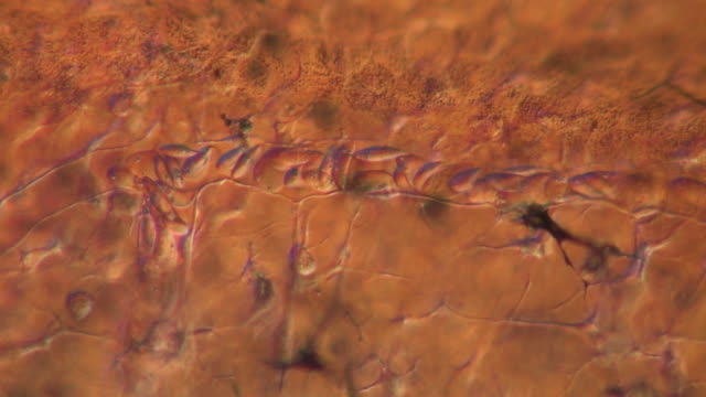 capillaries of toad tadpole tail.  olympus bh-2 microscope olympus s-plan 20x objective with 2.5x photoeyepiece. differential interference contrast. shutter speed 1/1000 second. horizontal field of view 700 micrometres. - vaso sanguigno video stock e b–roll