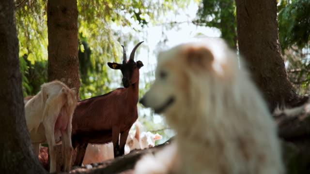 capre e cane pastore - breeder stock videos and b-roll footage