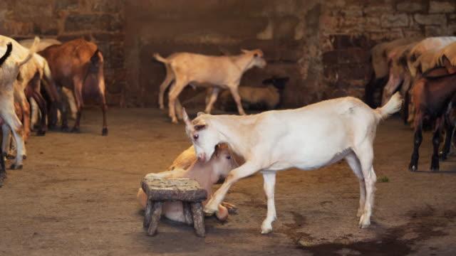 capre nella stalla - breeder stock videos and b-roll footage