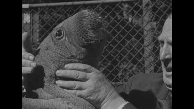 vs capt bob bartlett who brought baby walrus peel to the us poses with peel for film shoot as peel wriggles around makes noises bartlett handles the... - bronx zoo stock-videos und b-roll-filmmaterial