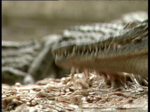 captive crocodile feeding on small mound of fish zimbabwe - zuschnappen stock-videos und b-roll-filmmaterial