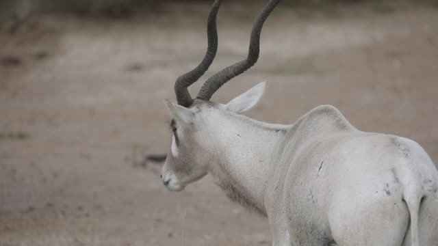 captive oryx pictured at the zoological park on september 29, 2020 in paris, france. the french minister of ecology has announced new government... - captive animals bildbanksvideor och videomaterial från bakom kulisserna