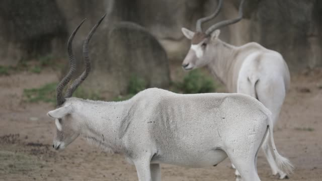 vídeos de stock e filmes b-roll de captive oryxes pictured at the zoological park on september 29 2020 in paris france the french minister of ecology has announced new government... - captive animals